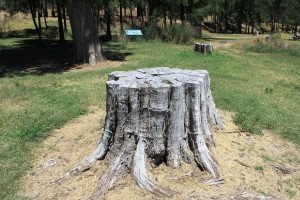 Uriarra East tree stump