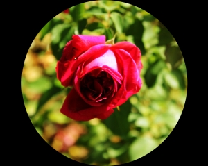 Red Rose (Senate Garden)