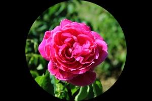 Rose flower (Senate Garden)