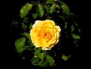 Yellow Rose (Senate Garden)