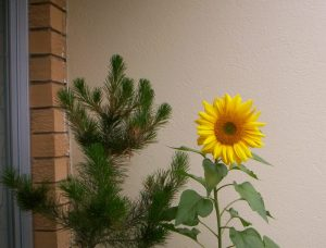 Sunflower I grew from seed.