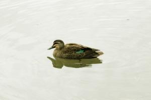 Duck on Lake Ginninderra