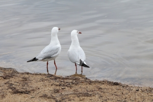Seagulls at Lake Ginninderra